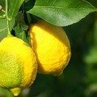 Qué provoca rizar las hojas del limonero