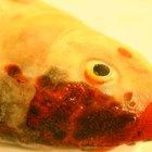 Permanganato de potássio para peixes