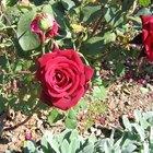 Características del rosal