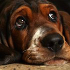 Tratamientos para las orejas de los perros con vinagre y alcohol
