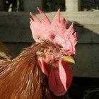 El proceso de apareamiento de los gallos y las gallinas