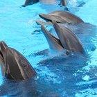 ¿Por qué son los delfines mamíferos?