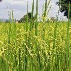 Propiedades de las cenizas de la cascarilla de arroz