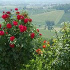 When Do Roses Flower?