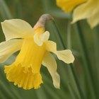Do Daffodil Bulbs Multiply?