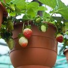 Frutas en jardines de macetas