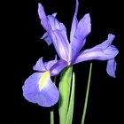 Flores tradicionales para un aniversario número 25