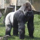 Fatos sobre os gorilas de costas prateada