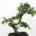 Cómo mantener las hojas pequeñas del bonsai