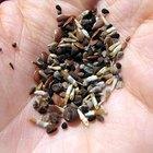 Chia seed dangers