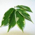 Cuidado y mantenimiento de un Ficus