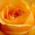 Significado de las rosas naranja