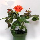 Plantas de rosas en macetas