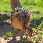 Cómo cuidar avestruces bebé