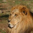 O sistema respiratório de um leão africano