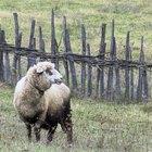 Proceso de limpieza de lana de oveja