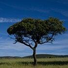 Historia del árbol de cedro