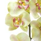 El cultivo de orquídeas a partir de bulbos