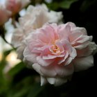 Facts About the Queen Elizabeth Climbing Rose