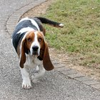 Problems With Basset Hounds