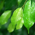 Ficus trenzados
