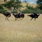 Ostrich's Natural Habitat