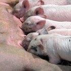 Partes del cuerpo del cerdo