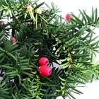 How to identify a shrub with red berries