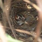 Como proteger ninhos de pássaros de predadores