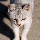 Como fazer um gato desnutrido ganhar peso
