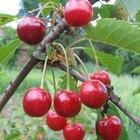 Cómo congelar cerezas frescas recién recolectadas