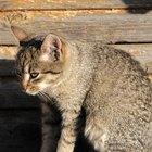 Sobre sangramento retal em gatos