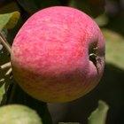 Como posso fazer minha macieira dar frutos?