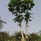 El cuidado de los árboles de papaya