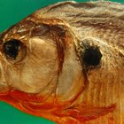 The life cycle of the piranha