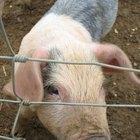 Cómo castrar a un cerdo