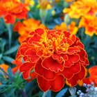 Significado de una flor de caléndula