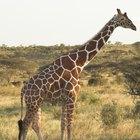 Principales predadores de la jirafa
