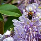 Purple Flowering Bushes