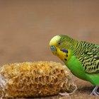 Como saber diferenciar Periquito macho de Periquito fêmea