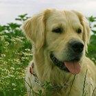 Extirpación del bazo en los perros