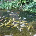 Swim Bladder Disease Cure for Fish in Ponds