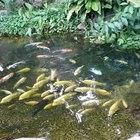 Que tipos de peixe comem algas nas lagoas?
