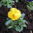 ¿Cómo enseñar los pasos para plantar una flor a los niños?