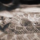 Síntomas que debes revisar de una mordedura de serpiente de cascabel en un perro
