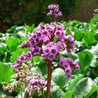 How to divide bergenia