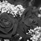 Dónde comprar una rosa negra