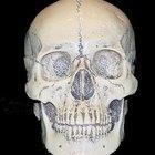 Tipos de cráneos humanos