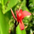 Bulbos que producen flores rojas o anaranjadas
