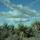Home Remedies for Spider Mites on Yucca Plants